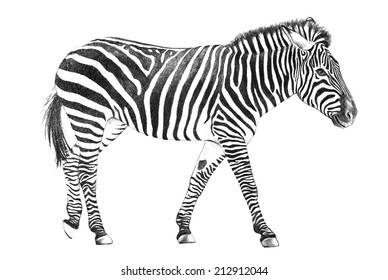 A standing African zebra illustration of an exotic wild animal commonly found in the zoo with black stripes and in a hand drawn sketch isolated on a white background.