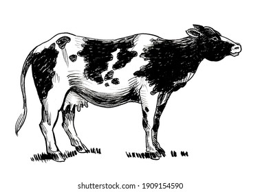 Standing milk cow. Ink black and white drawing