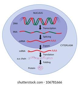 steps of gene expression