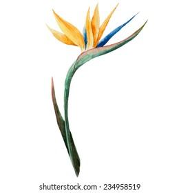Sterilizes, watercolor, flower