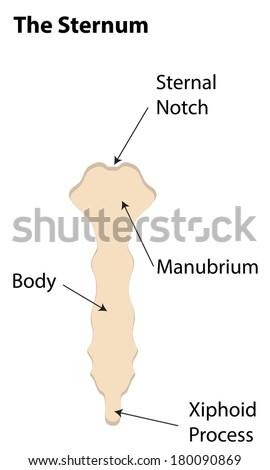 sternum labeled diagram stock illustration 180090869 shutterstock rh shutterstock com