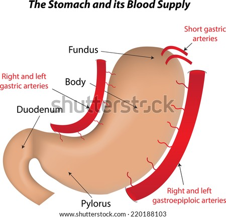 Royalty Free Stock Illustration Of Stomach Blood Supply Labeled
