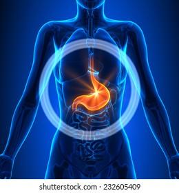 Stomach - Female Organs Human Anatomy