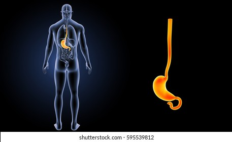 Stomach posterior view 3d illustration