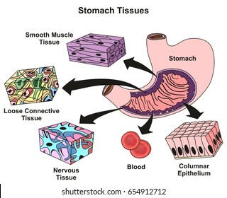 stomach tissues types and structure infographic diagram including smooth  muscle loose connective nervous blood, columnar
