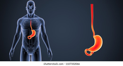 Stomach zoom with Skeleton Body anterior view 3d illustration