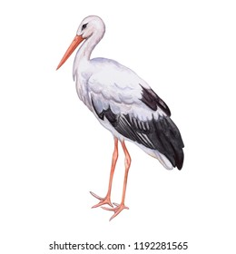 Stork white. Realistic bird isolated on white background. Watercolor. Illustration. Template. Close-up. Clip art. Hand draw