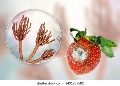 Strawberry with molds and closeup view of mold fungi Penicillium responsible for food spoilage, 3D illustration