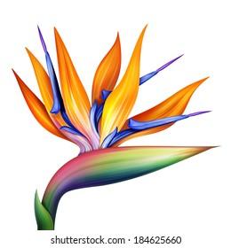 strelitzia, bird of paradise flower isolated on white background, botanical illustration
