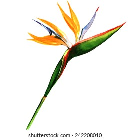 strelitzia, bird of paradise flower isolated, watercolor painting on white background