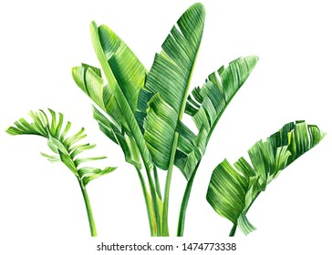 Strelitzia leaves on an isolated white background, watercolor tropical plants, botanical illustration, jungle design