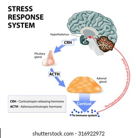 Stress response system.
