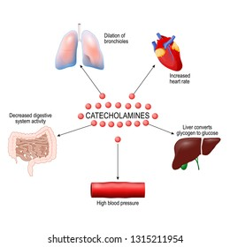 stress response system activation. Catecholamine: Adrenaline, Dopamine, Norepinephrine. Human anatomy. diagram for your design, educational, medical, biological and science use