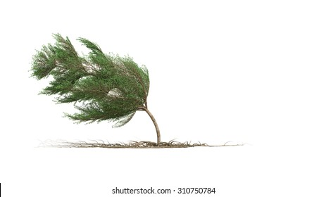 Strong Wind Blow Terminalia ivorensis Tree