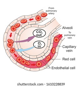 Structure of alveolus of human lungs. Oxygen and carbon dioxide move in alveoli.