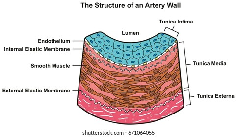 Structure Artery Wall Infographic Diagram Including Stock Vector