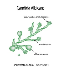 Structure of Candida albicans. Infographics illustration on isolated background