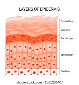 Structure of epidermis : cornified (stratum corneum), clear or translucent layer (lucidum), granular (stratum granulosum), spinous (spinosum), basal or germinal layer (stratum basale or germinativum)