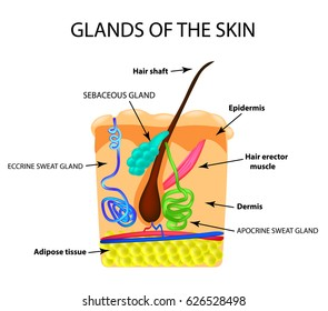 The structure of the hair. Sebaceous gland. Sweat gland. Infographics. illustration on isolated background.