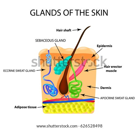 Structure Hair Sebaceous Gland Sweat Gland Stock Illustration ...