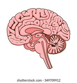 Structure of human brain section schematic raster illustration. Medical science educational illustration