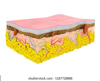 Structure of the human skin. Layers and cells, isolated white