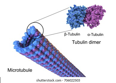 Structure of a microtubule, 3D illustration. Microtubule is composed of a protein tubulin, it is component of cytoskeleton involved in intracellular transport, cellular mobility and nuclear division