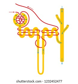 Structure of nephron.