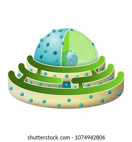 Structure of Nucleus and Rough endoplasmic reticulum. parts of the cell nucleus: nuclear envelope, nucleoplasm, nuclear matrix, chromatin and nucleolus.