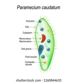 Structure of a paramecium caudatum. illustration for educational and science use
