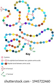 Structure of a protein to show disulphide bonds and amino acid sequence as coloured circles.  N and C terminal are shown in chemical detail.   Key included.