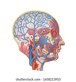 Structure scheme of human head muscles with veins and arteries. Side view, zygomatic malar bone, cardiovascular system, digital art image color illustration