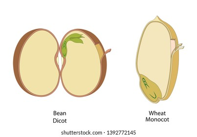 The structure of the seed in dicots and monocots