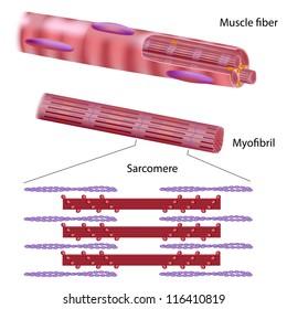 Structure of skeletal muscle fiber
