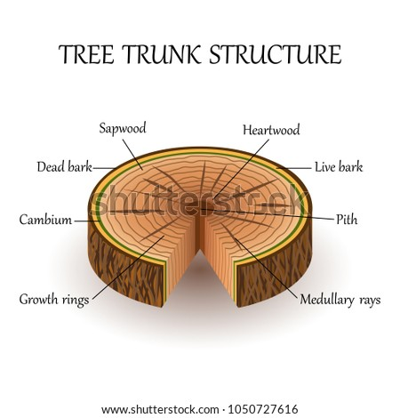 structure slice tree layers cross section stock illustration rh shutterstock com Anatomy of an Oak Tree tree trunk layers diagram