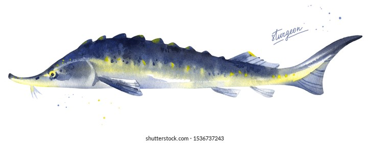 Sturgeon, Russian sturgeon fish illustration. Watercolor on white background