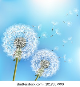 Stylish nature light blue background with two delicate flowers dandelions blowing seeds. Trendy floral spring or summer wallpaper. Raster version