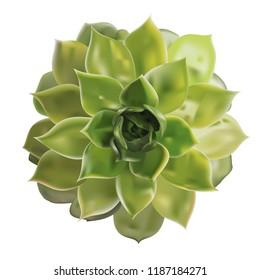 Succulent flower isolated on white background. 3D illustration.