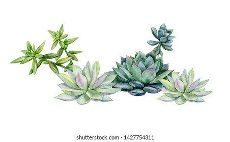 Succulents, echeveria illustration, botanical painting of dudleya and zwartkop. Stone rose. Sempervivum art. Watercolor elements for design.
