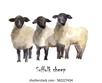 Suffolk sheep watercolor on the white background. Hand drawn cute illustration. Creative farm animals. Background for Muslim Community, Festival of Sacrifice, Eid-Al-Adha Mubarak. Tee-shirt graphic