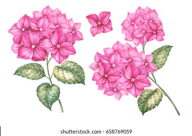 Summer collection of hydrangea flower. Awesome pink flowers collection. Pack for marriage, wedding or invitation card. Blooming hydrangea flower watercolor illustration isolated over white background.