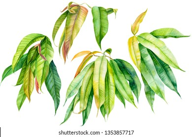 summer set of green leaves of ficus watercolor drawing, tropical plant on an isolated white background, botanical illustratio