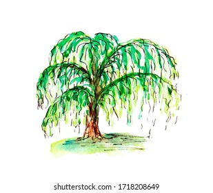 Summer sketch drawing design element. Watercolor weeping tree. A willow tree. Floral illustration. Green trees on white background. For the wedding, prints, greeting cards, posters.