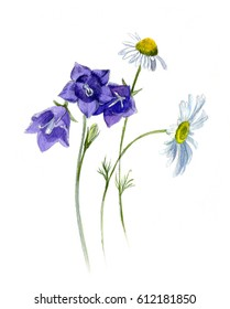 Summer watercolor sketch - bells and the daisies