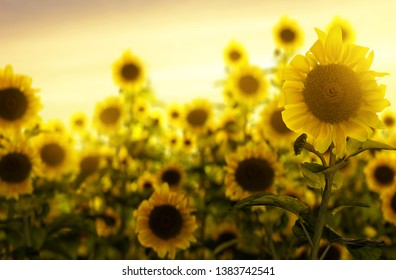 Sunflower field in the sunset (3D Rendering)