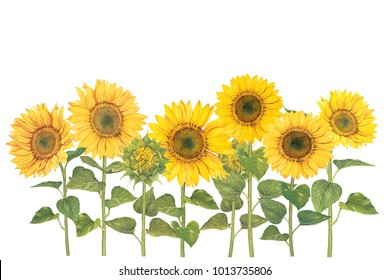 Sunflower field with watercolor painting.Hand drawn on white background.Clipping path included. Illustration for various tasks such as greeting cards,love card. birthday cards, or different print jobs