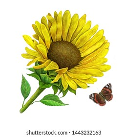 Sunflower flower and butterfly illustration .Illustration on isolated white background