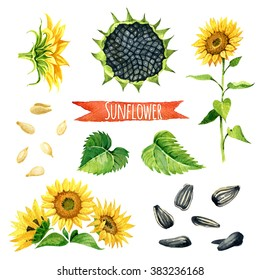 Sunflower, hand-painted watercolor set, vector clipping paths included