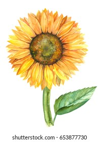 sunflower illustration in watercolor