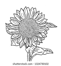 Sunflower inflorescence with leaves on a white background. Black and white outline illustration.